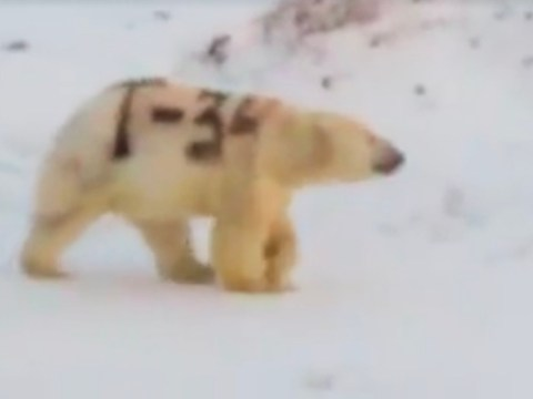 Shocking footage of spray-painted polar bear leaves experts baffled and furious