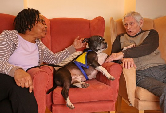 LONDON, DECEMBER 3RD 2019. THERAPY DOG Dodger, the Staffordshire Bull Terrier mix therapy dog, is pictured interacting with Robert Thompson, resident of the George Mason Lodge care home in Leytonstone, London, December 3rd, 2019. The visit, part of the Pets as Therapy initiative scheme, aims to use dogs to help enhance residents wellbeing by calming and soothing them and preventing them from feeling isolated. Also pictured is George Mason Lodge deputy manager Maria Aljoe. Photo credit: Susannah Ireland