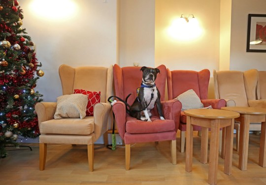 LONDON, DECEMBER 3RD 2019. THERAPY DOG Dodger, the Staffordshire Bull Terrier mix therapy dog, is pictured waiting to see residents at the George Mason Lodge care home in Leytonstone, London, December 3rd, 2019. Dodger is a regular visitor to the home as part of the Pets as Therapy initiative scheme, which aims to use dogs to help enhance residents wellbeing by calming and soothing them and preventing them from feeling isolated. Photo credit: Susannah Ireland