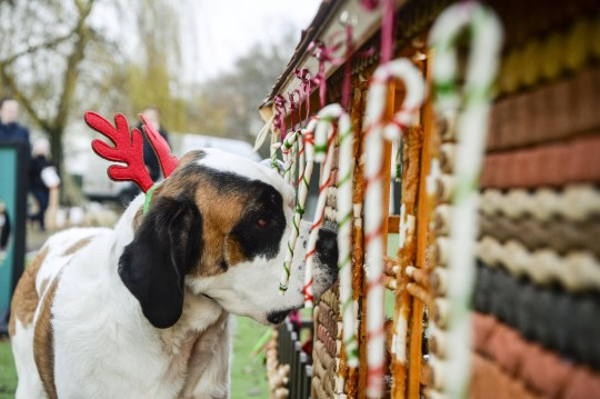 Dogs from the Manchester Dogs Home in Cheshire enjoy a seasonal treat as they are presented with a gingerbread style house - made from doggy treats