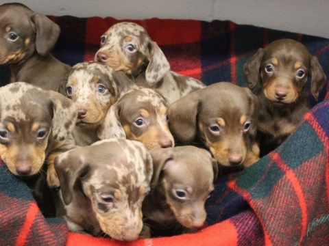 Litter of nine sausage dog puppies named after Santa's reindeer need your help this Christmas