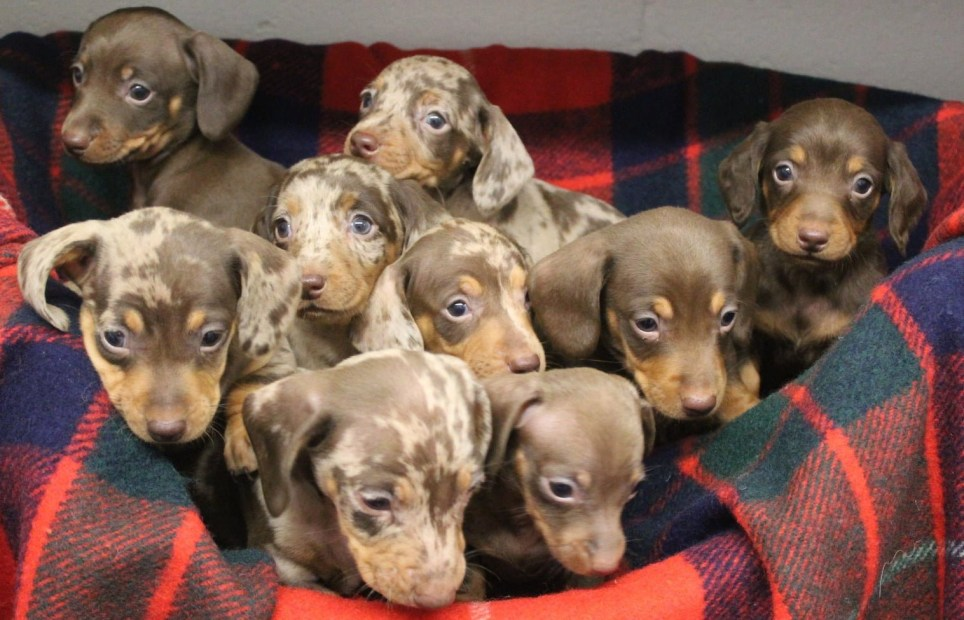 SPCA Halifax, Huddersfield, Bradford & District Branch is asking for donations ? with Claire Johnson. 18 hrs ? Dachshunds through the snow? Mum, Olive is currently in our care nursing her huge litter of 9 puppies : Dasher, Dancer, Prancer, Vixen, Comet, Cupid, Donner, Blitzen and Rudolf! We are currently inviting applications until the 11th December for prospective adopters, with the view to adopt them into their forever homes in the New Year. In the meantime our fantastic staff at the centre will be caring for them tentatively and offering around the clock care for the whole family. If you would like to donate to help with the care of this litter and our other animals please hit the donate button. For more details on these dogs and the adoption procedure please check out their profiles on our website http://176.35.109.227/cgi-bin/createlist.py