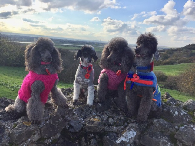 poodles frenchy, meesha, rizzo, doody