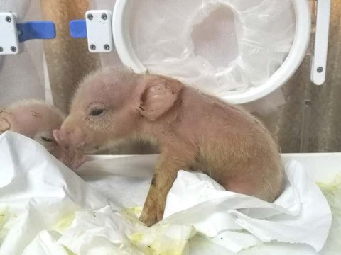 World's first monkey-pig hybrids born in Chinese lab