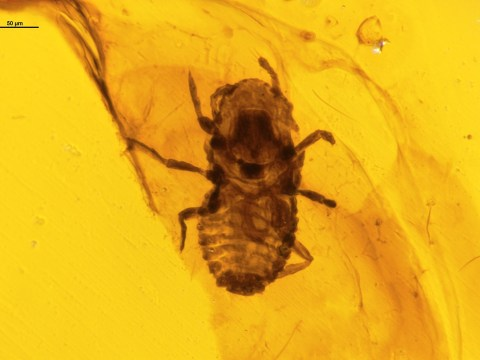 Lice found in amber are 100 million years old and chewed on dinosaur feathers
