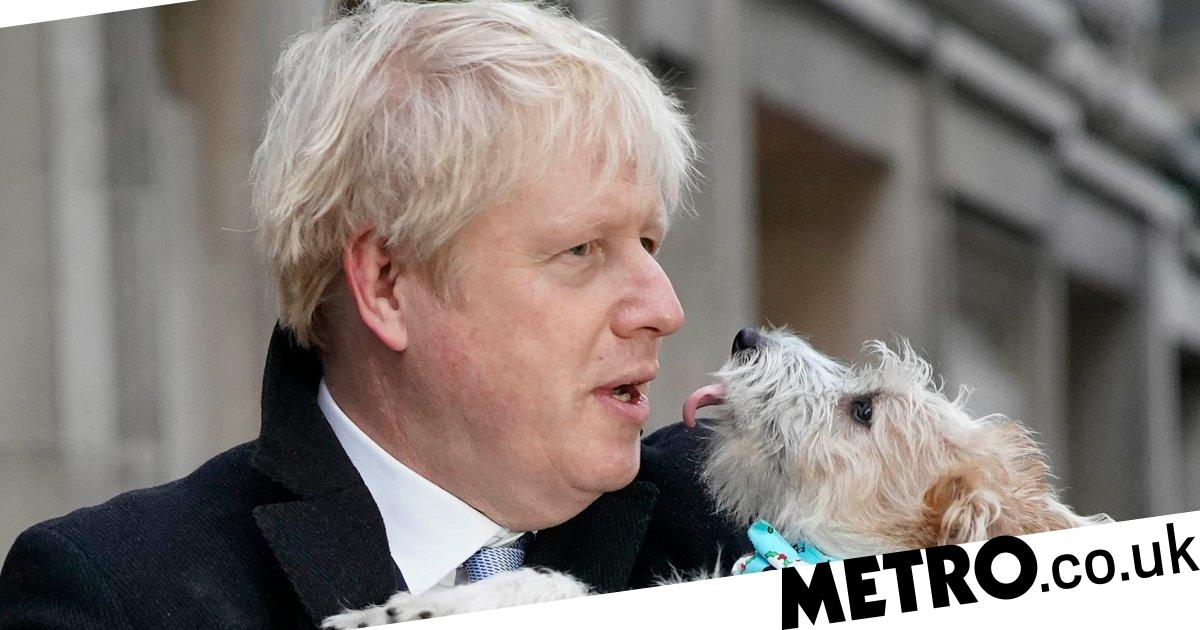 Jack Russells surge in popularity 'thanks to Boris and Brexit patriotism'