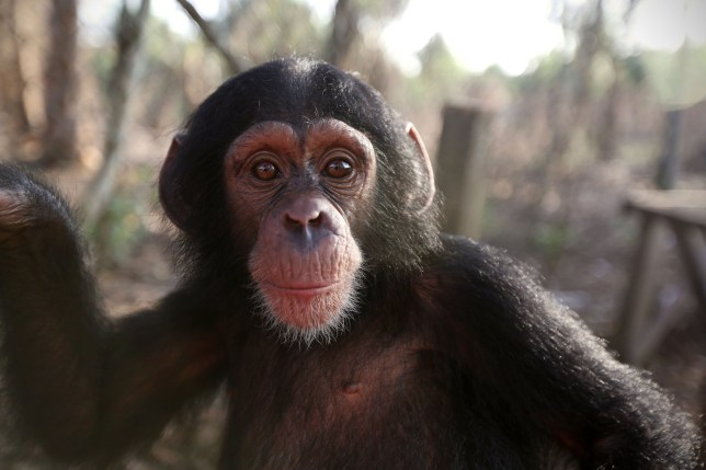 New BBC series Baby Chimp Rescue follows life of abandoned animals – and we are crying already