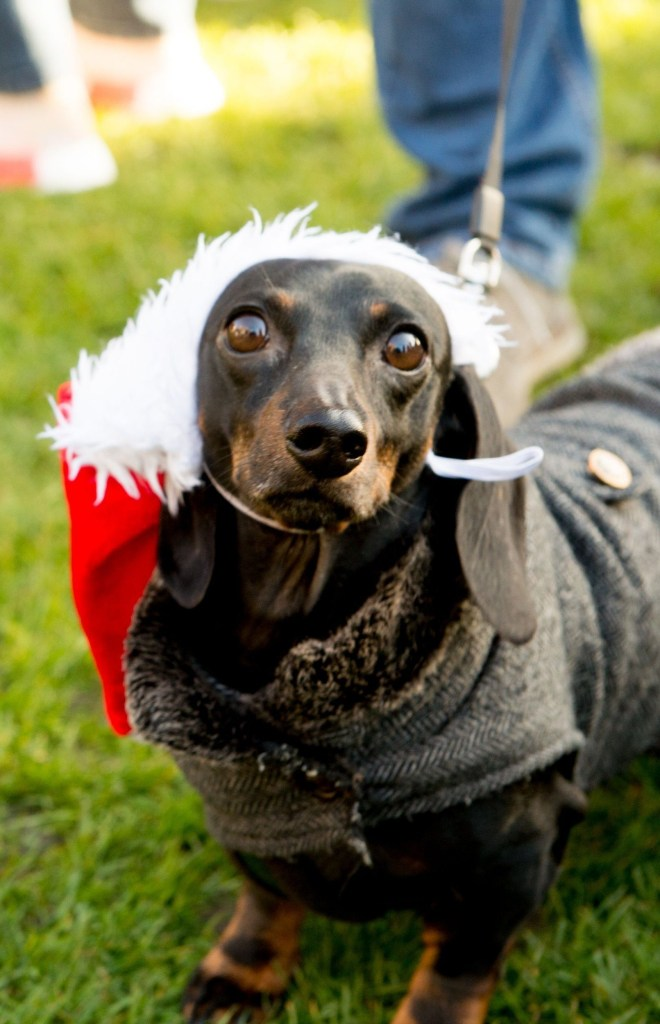 Mandatory Credit: Photo by RMV/REX (10506058aq) Humans and dogs take part in the Annual Christmas Sausage Dog Walk Annual Christmas Sausage Dog Walk, Hyde Park, London, UK - 15 Dec 2019