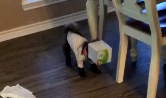 Video grab from footage of the adorable moment Winzee, a one-year-old Morkie pup, got her head stuck in a box of tissues after getting carried away ?playing? on Thanksgiving Day. November 28 2019..See SWNS story SWNYtissue. This cute little dog needs to learn to think outside the box. Winzee, a one-year-old Morkie pup, loves to play with tissues but on Thanksgiving day [November 28, 2019] she got caught in the act, after her head got stuck inside the box.?We had company over for Thanksgiving so I didn?t notice that she was attacking the tissues at first,? said Winzee?s owner, Debbie Loden, 54, who lives in Palacios, Texas. ?Then I looked over and saw that she had her head stuck in the box, but her tail was still wagging away like crazy.