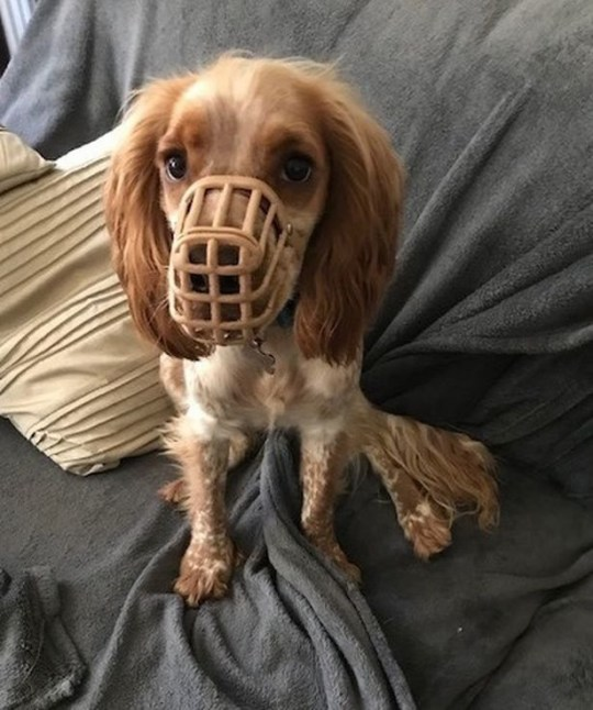 WESSEX NEWS AGENCY email news@britishnews.co.uk mobile 07501 221880 Jim Hardy A dog fitted with a muzzle to stop him eating everything in sight got his revenge - he ate the muzzle. Dexter, an 18-month-old spaniel, has an appetite which seems to have no limits and he is constantly ravenous. Dexter with muzzle
