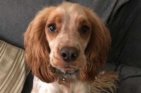 WESSEX NEWS AGENCY email news@britishnews.co.uk mobile 07501 221880 Jim Hardy A dog fitted with a muzzle to stop him eating everything in sight got his revenge - he ate the muzzle. Dexter, an 18-month-old spaniel, has an appetite which seems to have no limits and he is constantly ravenous. Dexter