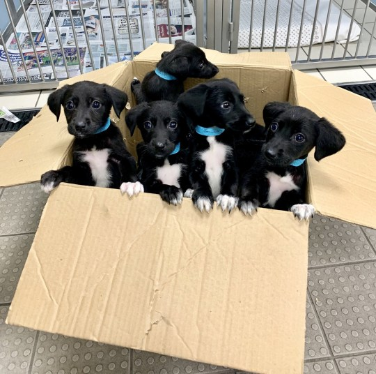 Seven adorable puppies named after the dwarves from Snow White have all found new homes just in time for Christmas after being abandoned in a cardboard box. See SWNS story SWMDpuppies; A member of the public came across the six-week-old pups after they were callously dumped on an empty beach in Cleethorpes, Lincs., in September. The Good Samaritan decided to take them to the Blue Cross animal hospital in nearby Grimsby where they were checked over by vets. The loveable crossbreed tyke puppies were found to be in good health, although clearly frightened and confused. As they were too young to go straight into new homes the dogs were transferred to the animal charity's rehoming centre in Bromsgrove, Worcs. They spent a couple of weeks recuperating at the centre where staff named them after the Seven Dwarfs - Dopey, Doc, Bashful, Happy, Grumpy, Sleepy and Sneezy. They have all now been rehomed and will spend their first Christmas with new owners in a loving home. Stephie Lea Davidson, a veterinary nurse at Blue Cross animal hospital in Grimsby, said: ?We were shocked when these adorable pups were brought in to us. ?They were found all alone and extremely vulnerable. ?I dread to think what would have happened to them if left on the beach for much longer, especially with the tide potentially taking them out to sea. ?It is wonderful to know their journey has such a happy ending and they will be spending their first Christmas in loving homes.?