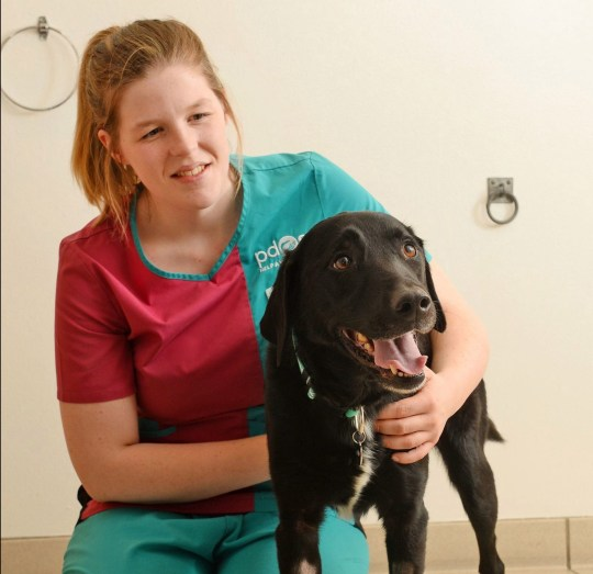 Undated handout photo issued by the PDSA of Marley, a seven-year-old labrador who has undergone two lifesaving operations after gorging on more than 30 home-made gingerbread Christmas tree decorations, at the charity's Pet Hospital in Bournemouth. PA Photo. Issue date: Monday December 2, 2019. Owner Rachael Bulmer, from Bournemouth rushed her pet, Marley, to the PDSA Pet Hospital in the Dorset town after it became seriously ill where vets performed emergency surgery on it to remove ribbons attached to the biscuits. See PA story ANIMALS Decorations. Photo credit should read: PDSA/PA Wire NOTE TO EDITORS: This handout photo may only be used in for editorial reporting purposes for the contemporaneous illustration of events, things or the people in the image or facts mentioned in the caption. Reuse of the picture may require further permission from the copyright holder.