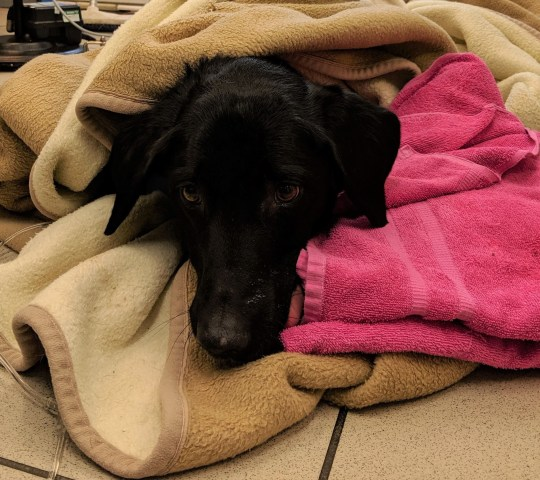 Undated handout photo issued by the PDSA of Marley, a seven-year-old labrador who has undergone two lifesaving operations after gorging on more than 30 home-made gingerbread Christmas tree decorations, at the charity's Pet Hospital in Bournemouth. PA Photo. Issue date: Sunday December 22, 2019. Owner Rachael Bulmer, from Bournemouth rushed her pet, Marley, to the PDSA Pet Hospital in the Dorset town after it became seriously ill where vets performed emergency surgery on it to remove ribbons attached to the biscuits. See PA story ANIMALS Decorations. Photo credit should read: PDSA/PA Wire NOTE TO EDITORS: This handout photo may only be used in for editorial reporting purposes for the contemporaneous illustration of events, things or the people in the image or facts mentioned in the caption. Reuse of the picture may require further permission from the copyright holder.