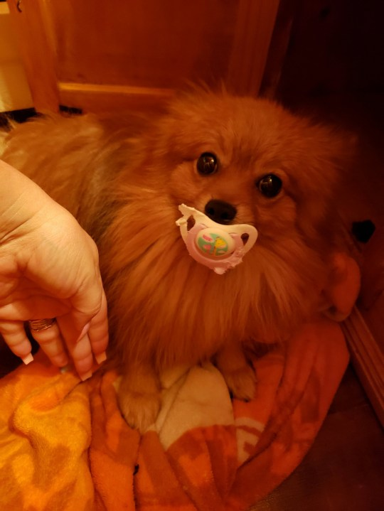 Gizmo the Pomeranian has a rather unusual habit - sucking on a baby?s dummy! See SWNS story SWNYpacifier. Meet Gizmo, the service Pomeranian who loves nothing more than sucking on his dummy. When Angela Jeck, 46, first started sharing pictures of her beloved pup her friends poked fun at her. ?Everybody thinks this is the meanest thing in the whole world. They think I force him to take [the dummy],? Angela can be heard saying at the start of the video. But as the video progresses, it becomes clear that Gizmo has no intention of letting go of his favorite toy.