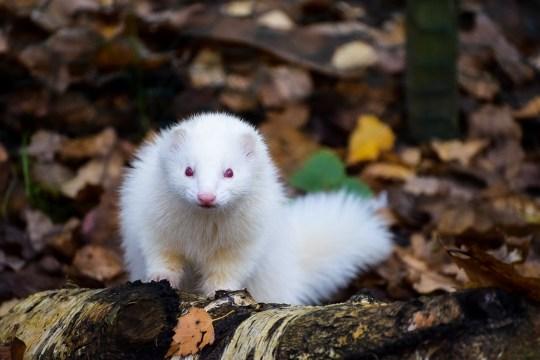 Paella the ferret