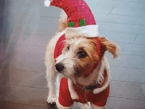 Downing Street dog Dilyn stars on rescue shelter's Christmas card