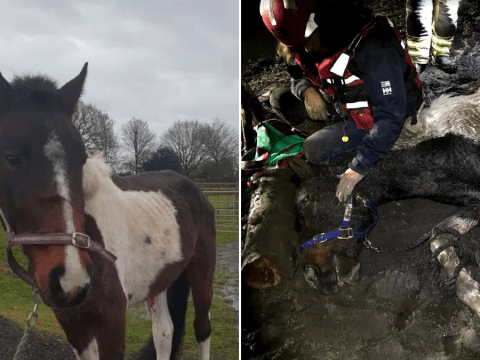 Frosty the pony rescued after falling down a muddy bank and getting stuck