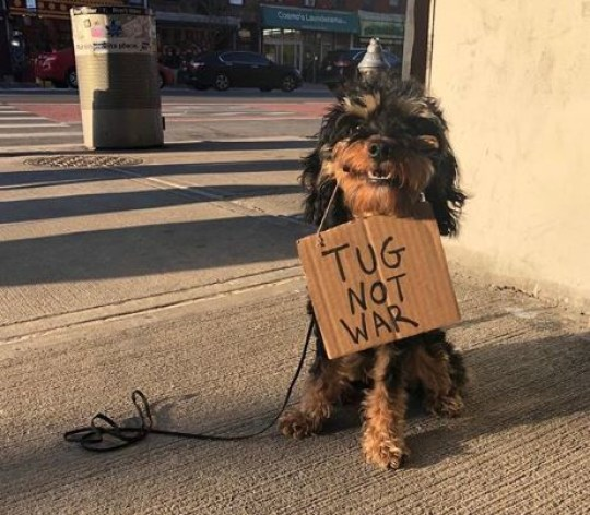 Dog holding a sign saying 'tug not war'