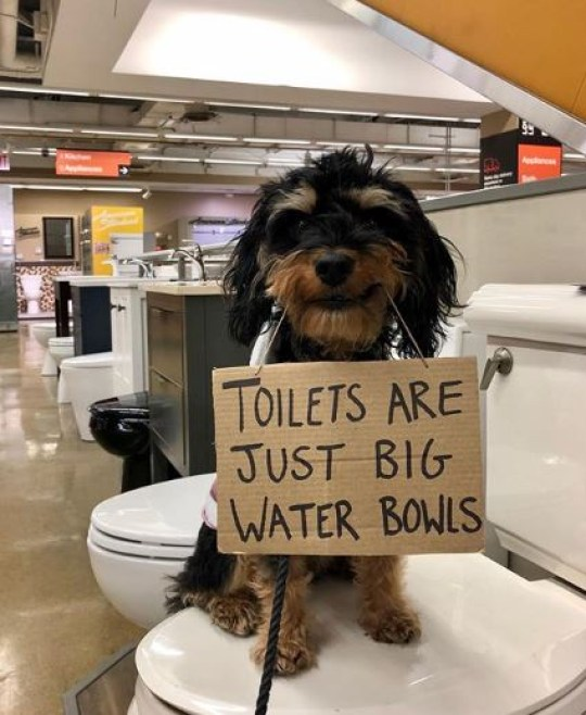 Dog sitting on toilet holding sign saying toilets are just big water bowls