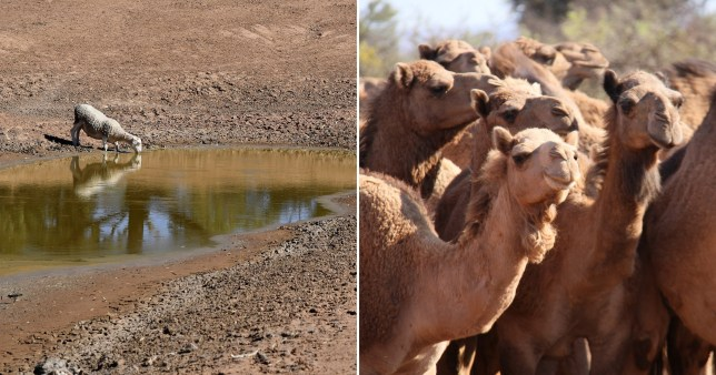 Up to 10,000 unruly camels to be shot for causing chaos in Australia