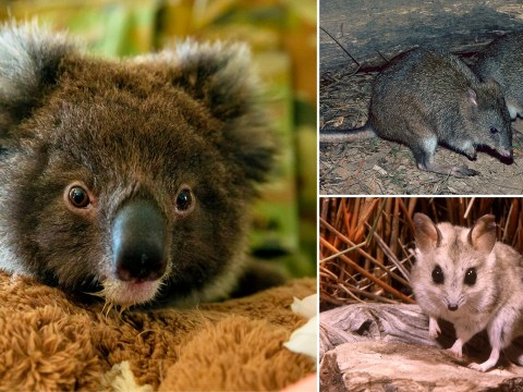 Fires wipe out entire species putting Australia 'on brink of extinction crisis'
