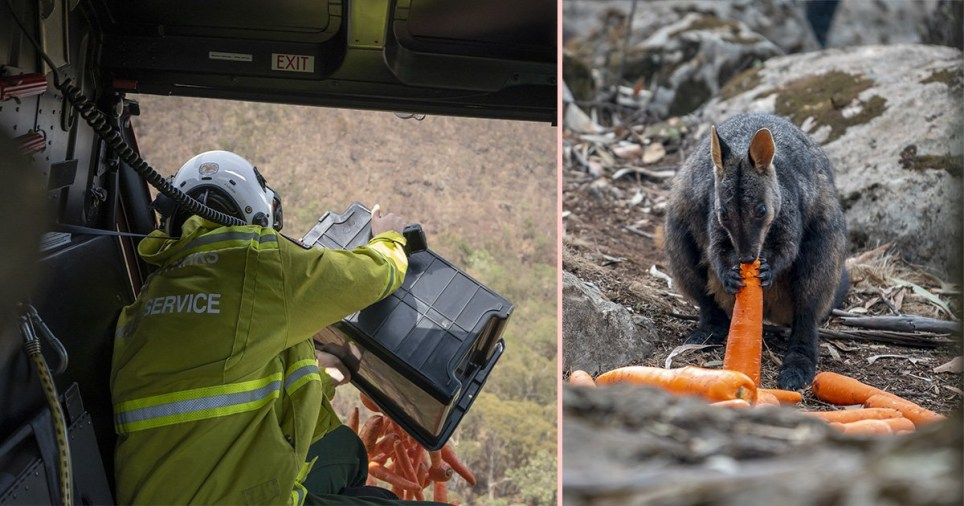 helicopter drops food for wallaby