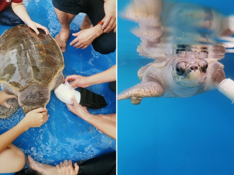 Three-limbed turtle given prosthetic flipper to help her swim