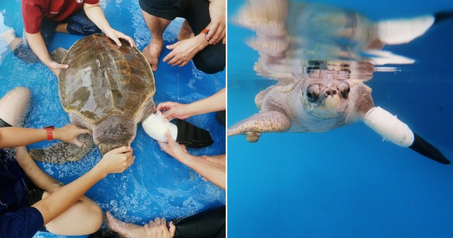composite of Goody, sea turtle that has been given a false flipper