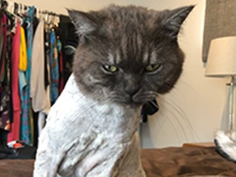 Cat needs entire body shaved after coming home covered in plaster