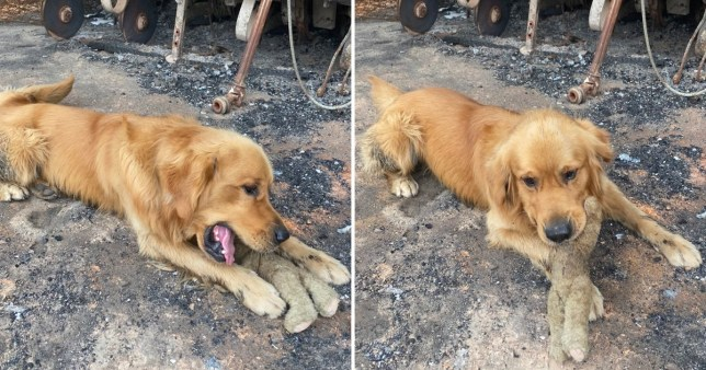 Dog finds favourite toy in rubble of house destroyed by Australia bushfires (Picture: @dog_rates)