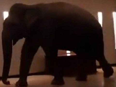 Wild elephant walks into Sri Lankan hotel and gently wanders around