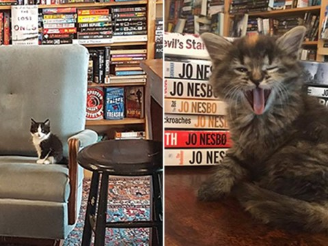 There's a bookshop in Canada where kittens up for adoption roam free