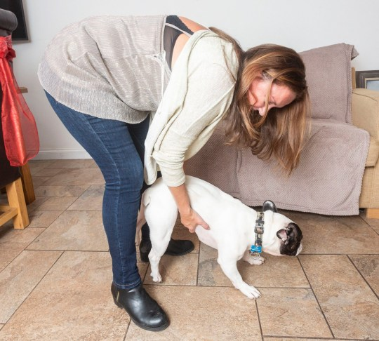 """Louise Davies, 48, had to give the family French bulldog, Angus, the Heimlich manoeuvre as he chewed a piece of the sofa and was choking, pictured at their home in Cheshire. See SWNS story SWLEdog; A dog lover saved her pooch's life after he started choking on a piece of sofa - by performing the Heimlich Maneuver. Louise Davies was left petrified when her little French bulldog Angus started making a wretching noise and losing the colour in his face. It was when the poor pup started to lean sideways as if he was losing consciousness that Louise jumped into action. Luckily the 48-year-old church administrator had just done a first aid course for her work and the lifesaving technique was fresh in her mind. Louise, from Congleton, Cheshire, said: """"I knew straight away that Angus must be choking - it was horrifying to see, he could not breathe at all. """"My heart was in my mouth at first but my training kicked in, allowing me to keep calm. """"I looked in Angus' mouth and, when I couldn't see anything, I picked him up from behind and pulled into his belly. """"Nothing happened the first time so I had to do it again, and this time he started breathing again."""""""