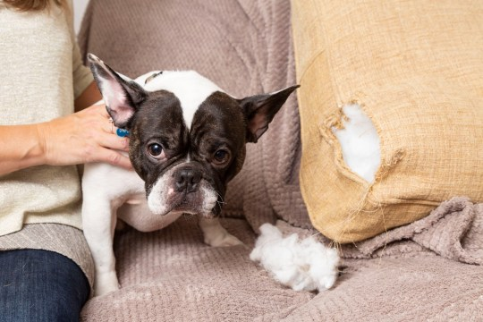 """Louise Davies, 48, had to give the family French bulldog, Angus (pictured) , the Heimlich manoeuvre as he chewed a piece of the sofa and was choking, pictured at their home in Cheshire. See SWNS story SWLEdog; A dog lover saved her pooch's life after he started choking on a piece of sofa - by performing the Heimlich Maneuver. Louise Davies was left petrified when her little French bulldog Angus started making a wretching noise and losing the colour in his face. It was when the poor pup started to lean sideways as if he was losing consciousness that Louise jumped into action. Luckily the 48-year-old church administrator had just done a first aid course for her work and the lifesaving technique was fresh in her mind. Louise, from Congleton, Cheshire, said: """"I knew straight away that Angus must be choking - it was horrifying to see, he could not breathe at all. """"My heart was in my mouth at first but my training kicked in, allowing me to keep calm. """"I looked in Angus' mouth and, when I couldn't see anything, I picked him up from behind and pulled into his belly. """"Nothing happened the first time so I had to do it again, and this time he started breathing again."""""""
