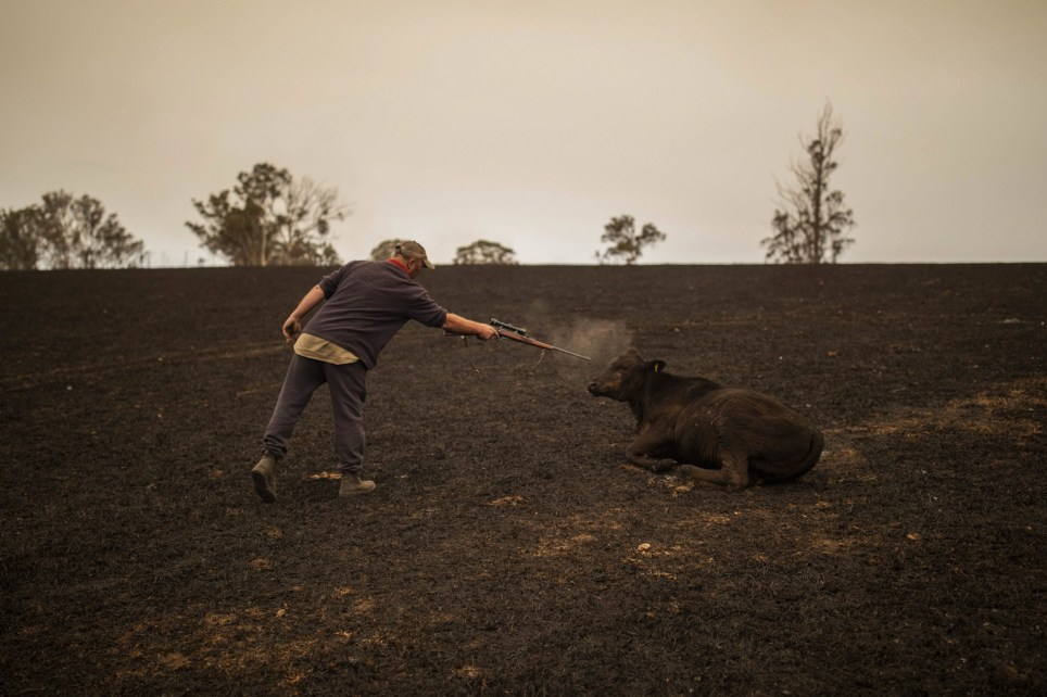 epa08097358 A resident puts down a cow that was severely wounded after a bushfire ravaged a paddock in Coolagolite, New South Wales, Australia, 01 January 2020. EPA/SEAN DAVEY AUSTRALIA AND NEW ZEALAND OUT