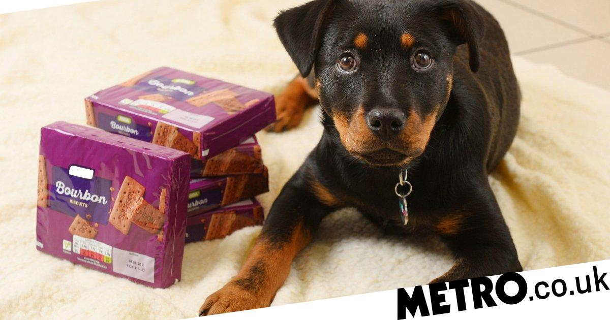 Puppy almost killed after gobbling two packs of bourbons