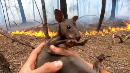 Baby joey saved from bushfires
