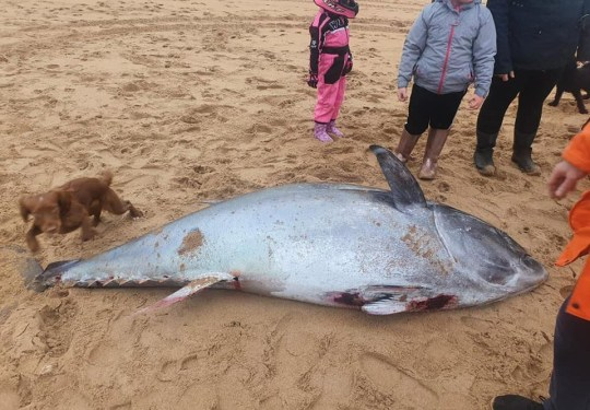 Picture of the giant tuna found Scotstown beach in St Fergus near Peterhead, Scotland on Saturday 4th Jan TRIANGLE NEWS 0203 176 5581 // contact@trianglenews.co.uk By Richard Percival With pix A GIANT tuna - which could have been worth ??1.8million - has been found washed up on a beach. The beast - which is 8ft (2.4metres) long and weighs 420lbs (190kg) - was found by surfers. The Atlantic bluefin tuna was discovered on Scotstown beach in St Fergus near Peterhead, Scotland. *TRIANGLE NEWS DOES NOT CLAIM ANY COPYRIGHT OR LICENSE IN THE ATTACHED MATERIAL. ANY DOWNLOADING FEES CHARGED BY TRIANGLE NEWS ARE FOR TRIANGLE NEWS SERVICES ONLY, AND DO NOT, NOR ARE THEY INTENDED TO, CONVEY TO THE USER ANY COPYRIGHT OR LICENSE IN THE MATERIAL. BY PUBLISHING THIS MATERIAL , THE USER EXPRESSLY AGREES TO INDEMNIFY AND TO HOLD TRIANGLE NEWS HARMLESS FROM ANY CLAIMS, DEMANDS, OR CAUSES OF ACTION ARISING OUT OF OR CONNECTED IN ANY WAY WITH USER'S PUBLICATION OF THE MATERIAL*