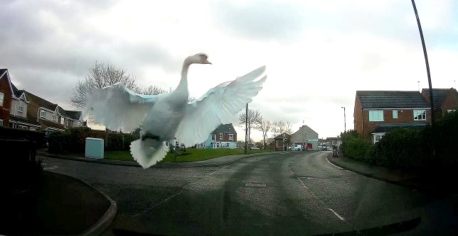 This is the dramatic moment a swan smacks into a driver's windscreen and almost shatters the entire screen. See SWNS story SWSYswan. Van driver Emily Keady, 21, was left shaken by the incident which happened in Holyfields, Newcastle-Upon-Tyne. Despite shattering the windscreen the swan was said to have been unharmed by the smash and waddled off around the village. January 7, 2020.