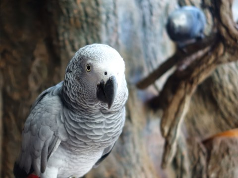 Scientists find African greys will 'voluntarily' help other parrots