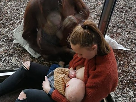 Mum amazed when orangutan tries to support her as she breastfeeds her baby at the zoo