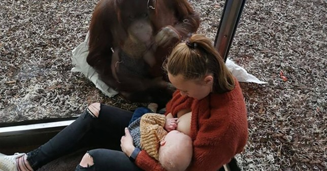Mum gets breastfeeding support from an orangutan at the zoo