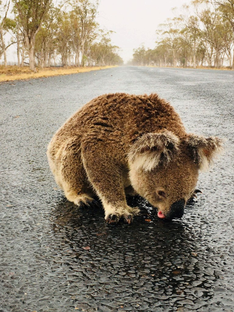 A koala licks rainwater off a road near Moree, New South Wales, Australia in this January 16, 2020 picture obtained from social media. PAMELA SCHRAMM /via REUTERS THIS IMAGE HAS BEEN SUPPLIED BY A THIRD PARTY. MANDATORY CREDIT. NO RESALES. NO ARCHIVES. MUST ON SCREEN COURTESY PAMELA SCHRAMM.