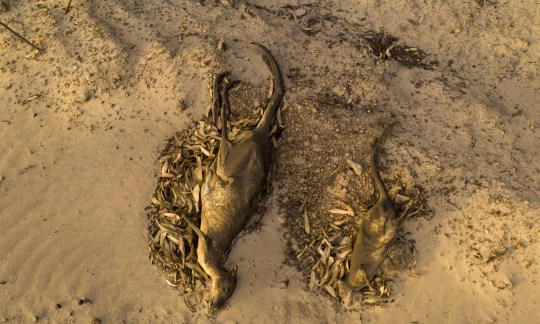 KANGAROO ISLAND, AUSTRALIA - JANUARY 17: (EDITORS NOTE: Image contains graphic content) Dead kangaroos lay on the ground on January 17, 2020 in Kangaroo Island, Australia. Kangaroo Island is recovering in the aftermath of a series of bushfires which started on 4 January. The fires, some of which are still burning, claimed two lives and have burned more than 210,000 hectares of land so far. Tens of thousands of native animals have been killed or injured, hundreds of thousands of livestock have been killed and 65 homes have also been destroyed. (Photo by Bill Blair/Getty Images) ***BESTPIX***