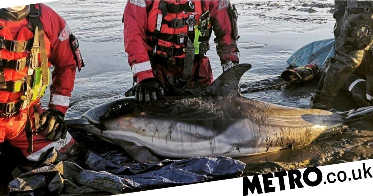 Dramatic rescue after Thames dolphins get stuck in the mud at low tide - metro