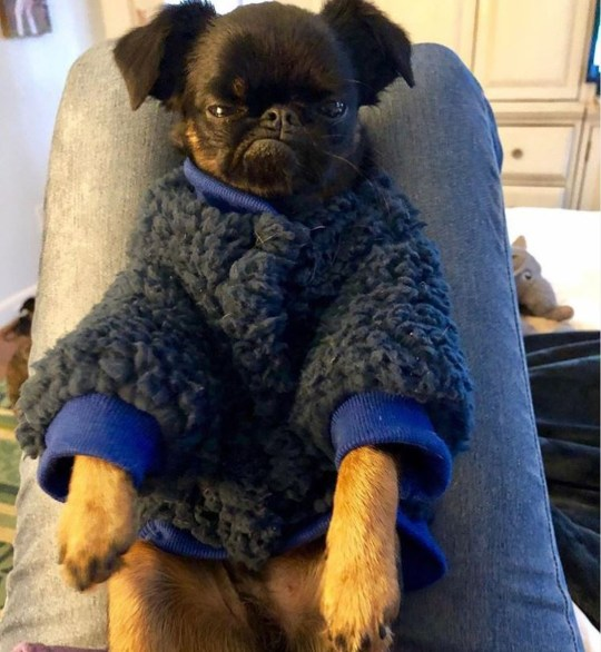 chico the brussels griffon that looks grumpy