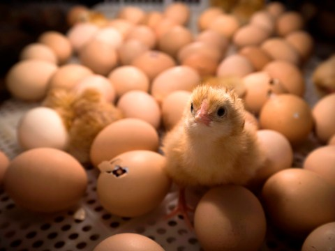 France to ban mass killing of male chicks after they hatch