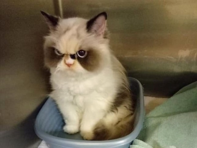 meow meow the grumpy cat