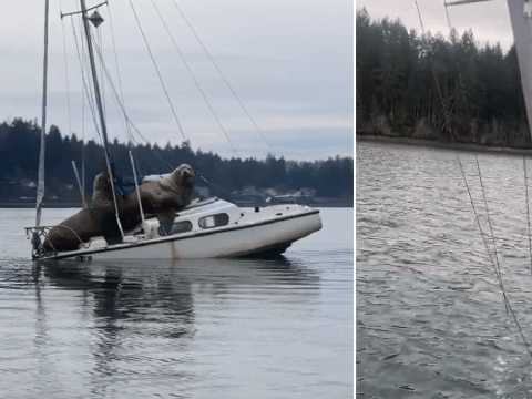 Two huge sea lions hijack yacht then sink it